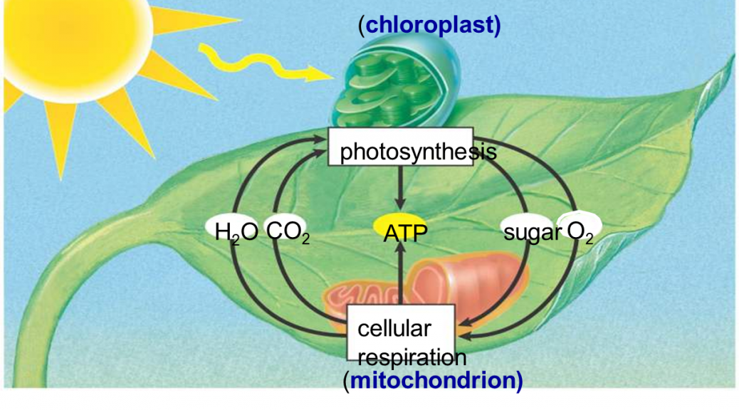 photosynthesis-and-respiration-34